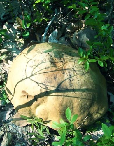 skull bolete 1