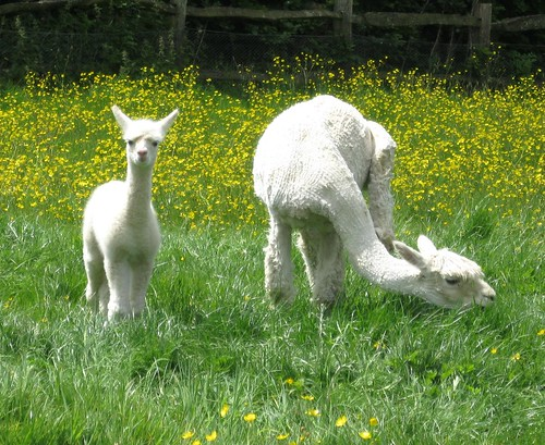 New cria at Spring Farm