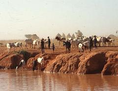 Cattle Waterhole