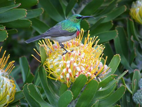 Southern double-collared sunbird (Nectarinia chalybea)