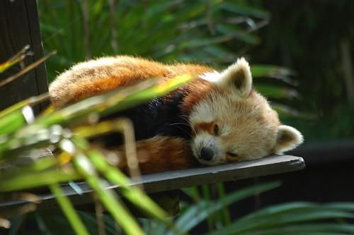 Roter Panda im Zoo d'Amnéville