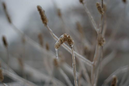 Ice storm :: grasses