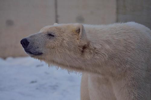 Eisbär Sprinter im Ouwehands Dierenpark Rhenen