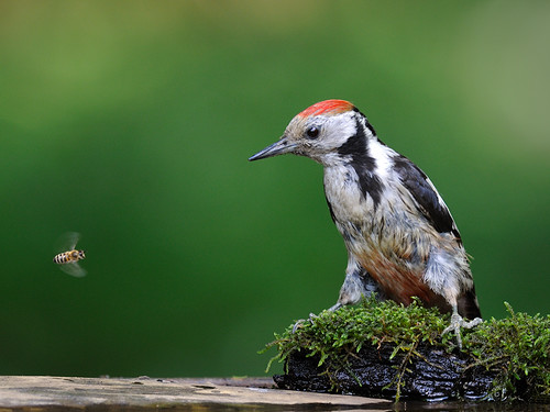 Middle-Spotted Woodpecker and Bee