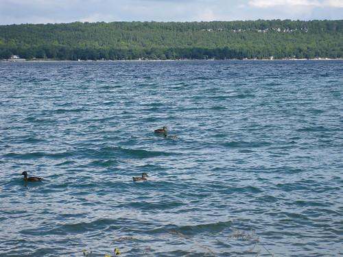 Ducks, georgian bay