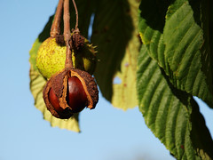 Ripe conkers