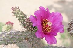 New Mexico Cactus Flower