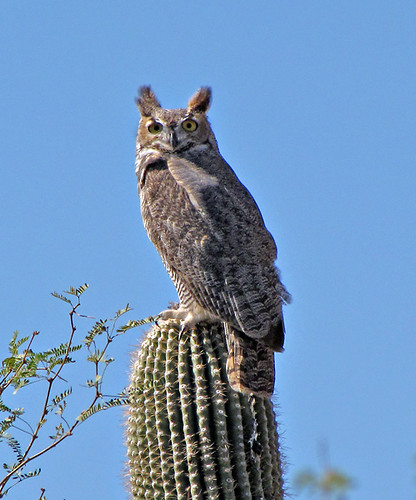 Great-Horned Owl by SearchNetMedia