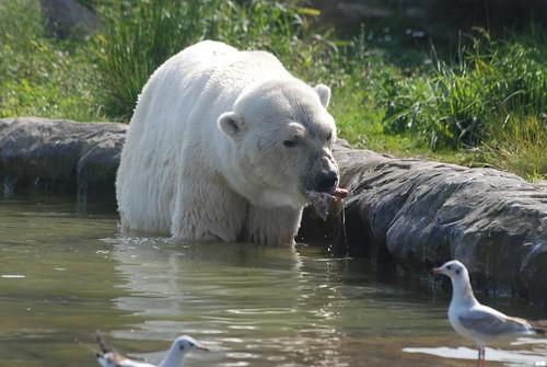 Eisbär Elvis in der Zoom Erlebniswelt