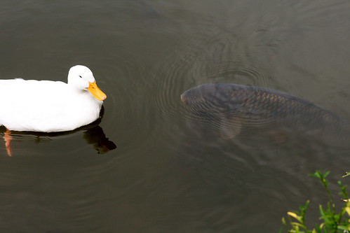 Beware Duck, Carp are HUGE