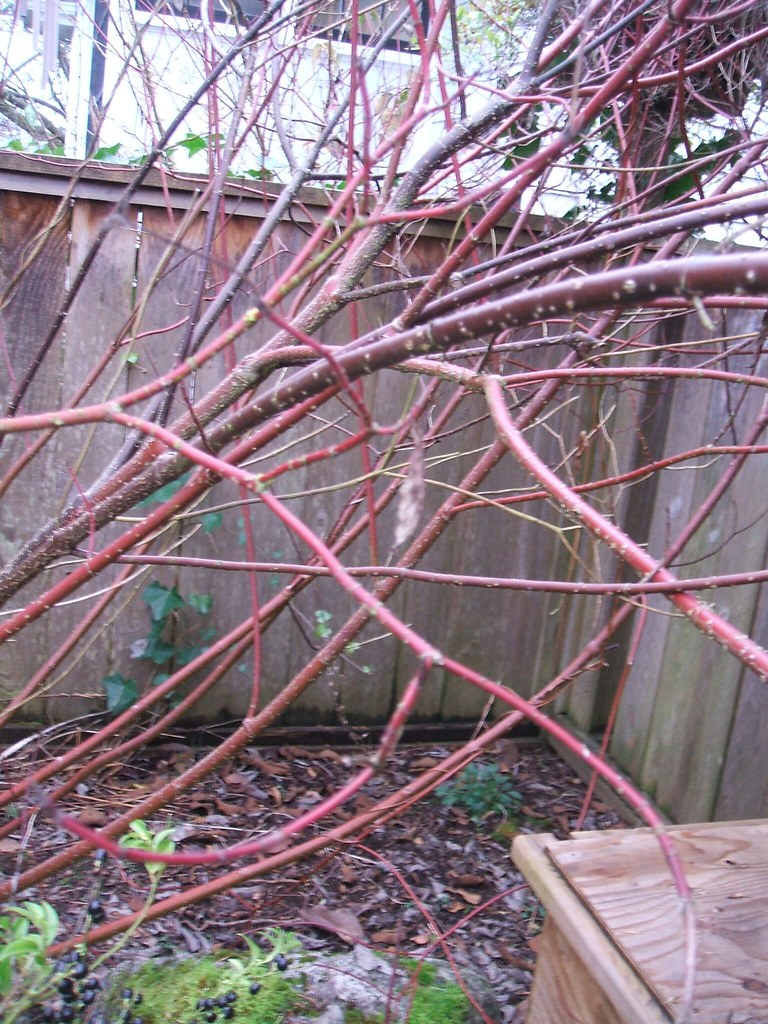Red-twig dogwood in winter