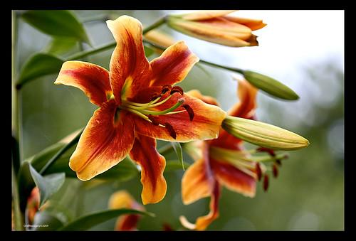 Hybrid Oriental/trumpet lily in my garden by you.
