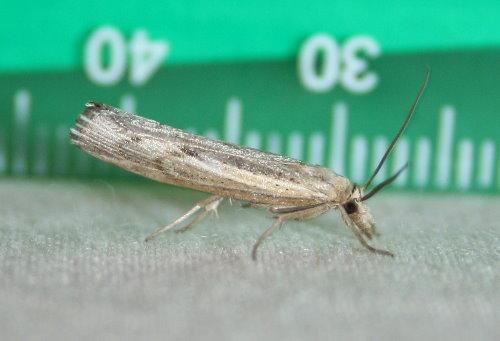 5413 - Pediasia trisecta - Sod Webworm