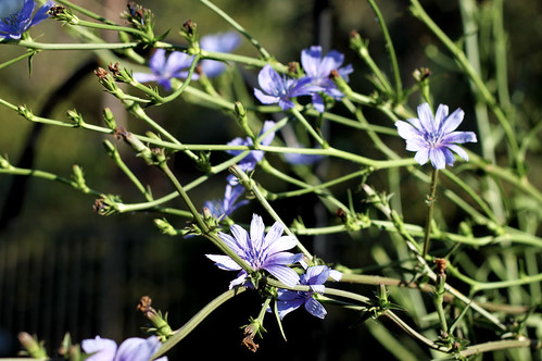 Chicory-Flowers