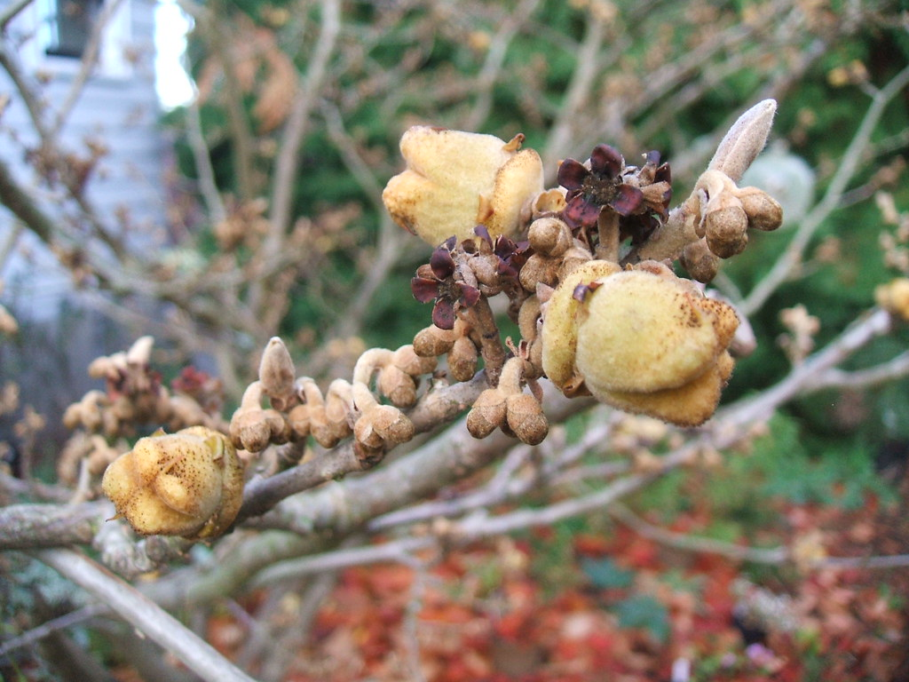 "Witch hazel ""nuts"""