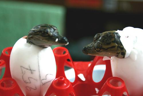 baby crocs.