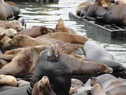 Sea Lions at Fisherman Warf, SF