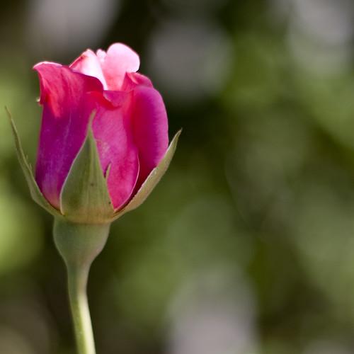 Bokeh Rosa