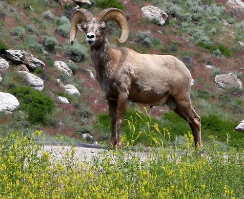 Big Horn Sheep Wyoming