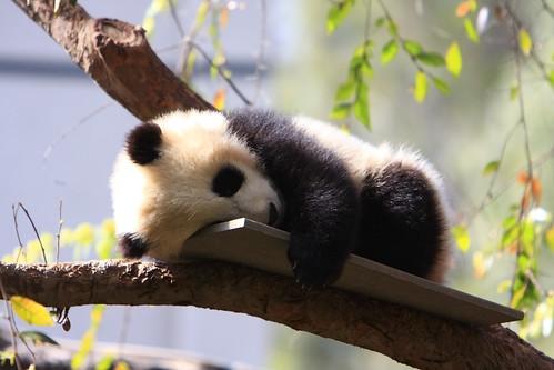Baby Panda Bear - San Diego Zoo