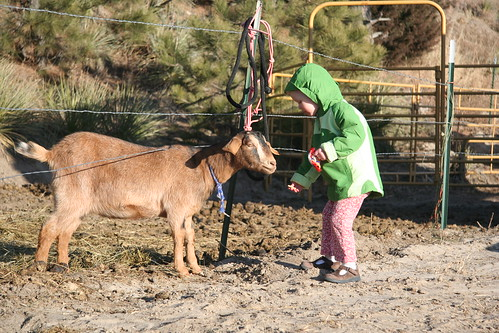 Ginzey the Goat enjoys a cracker or two.