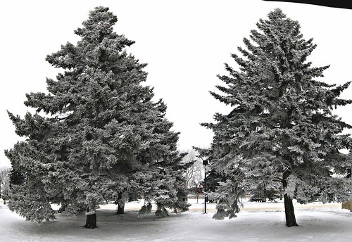 Evergreens with hoarfrost