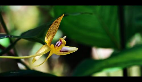 Deare's Bulbophyllum at Kipandi Butterfly Park.