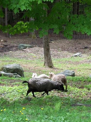 more angora goats