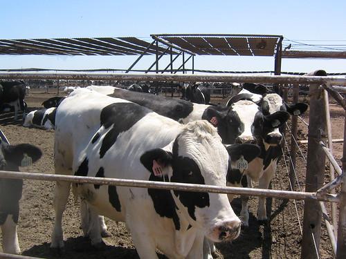 Superior Dairy farm