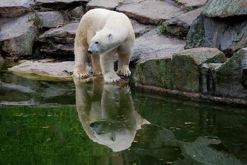 Eisbär Lars im Zoo Berlin