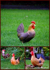 Chicken Lawn Ornaments in Ashfield, MA (collage)