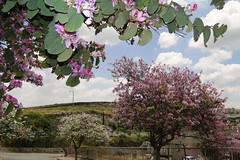 Pear Trees in Bloom in Nazareth by Adam Jones, Ph.D., on Flickr