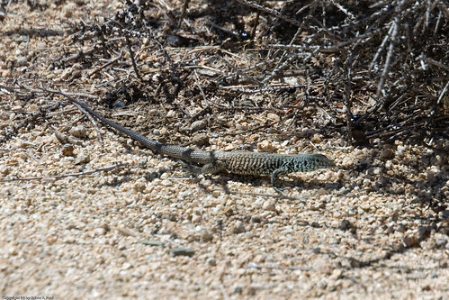 Western Whiptail? by you.