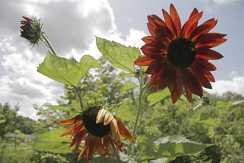 more happy sunflowers