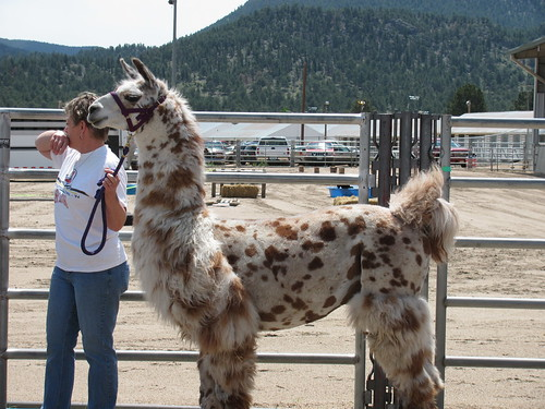 speckled llama