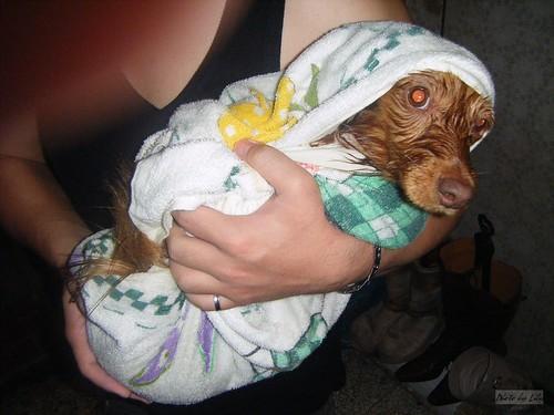 剛洗完被大浴巾包起來的栗子。