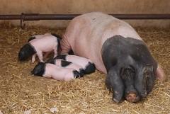 Limousin Schwein im Parc animalier de Gramat