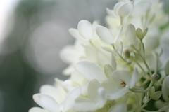 White Hydrangea's by LadyAoife