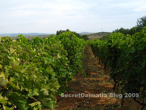 Typical Northern Dalmatian vineyard