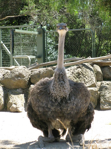 Ostrich at the Melbourne Zoo