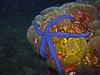 Blue Sea Star - Linckia laevigata by divemecressi