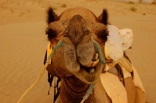 Camell que fa ganyotes