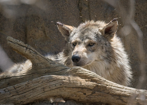 Mexican Wolf by you.