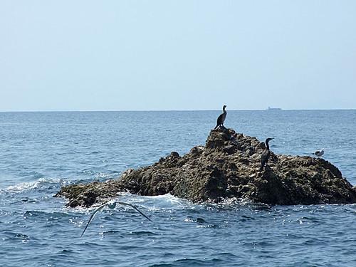 海鵜(ウミウ)~笹川流れ