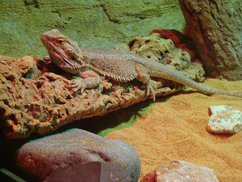 Barb the bearded dragon