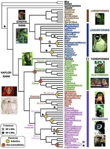 primate_phylogeny
