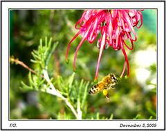 Flight of the Bumblebee-3, Grevillea 'Red Hooks'