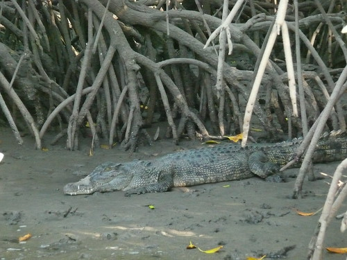 Saltwater crocodile among the mangroves, Port Douglas.