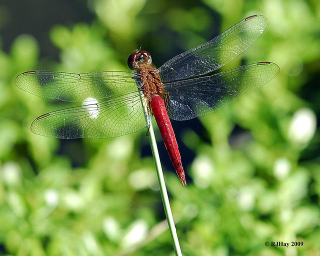 Red Dragonfly - Punta Cana - 2009
