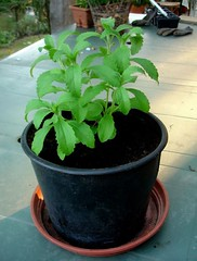 Stevia (sugar substitute) cuttings doing well